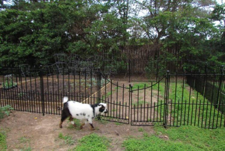 decorative Hog Wire Fence